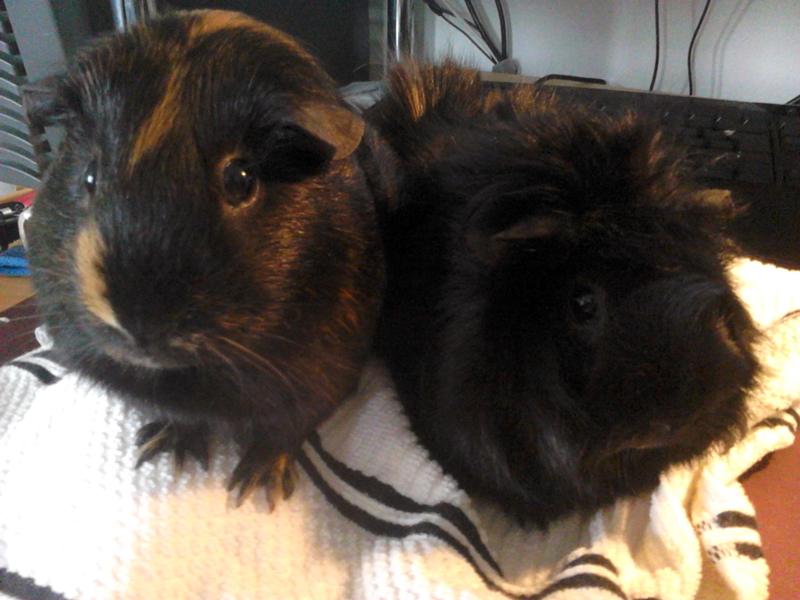 Pet Cavies (Guinea Pigs)